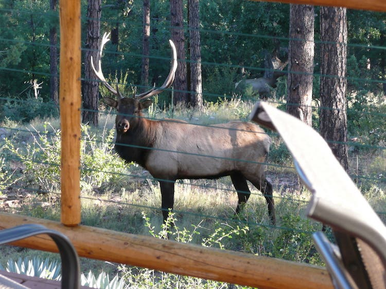 Bull elk thru cabin rail