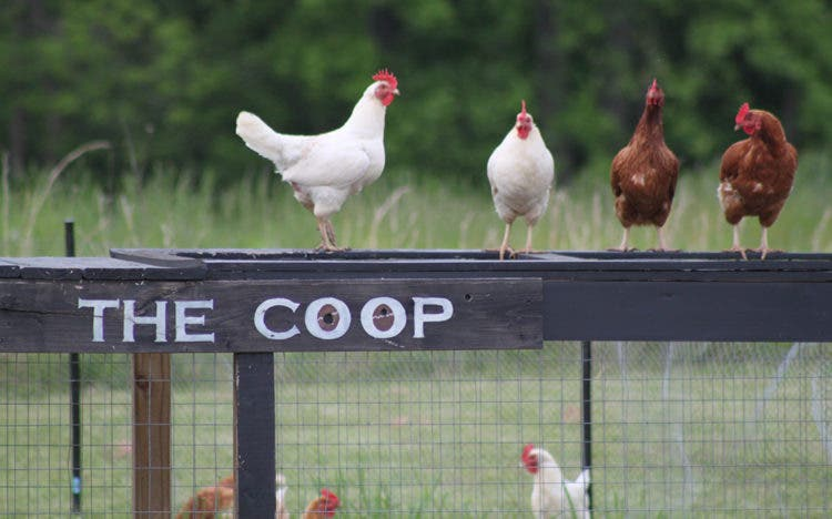 OldWorldGardenFarms-hens