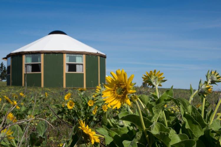 Balsamroot and the yurt