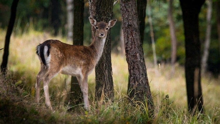 fallow-deer-984576_960_720