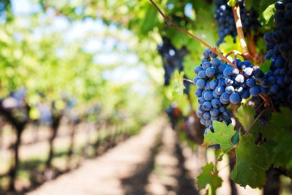 purple-grapes-553463_960_720